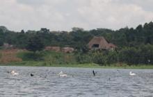 Lago Victoria y pelícanos (Uganda)