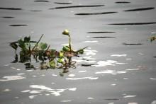 plantas parásitas que crecen de forma decontrolada en el lago
