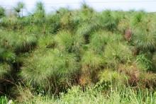 Los papiros crecen abundantemente a orillas del Nilo Blanco y del Lago Victoria