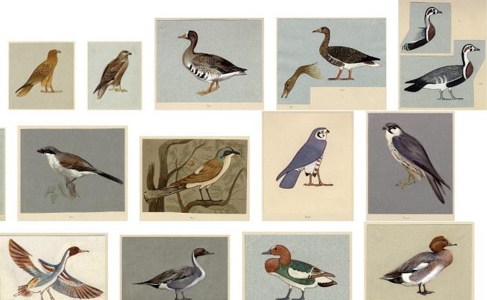 Un álbum de acuarelas de aves y animales de Howard Carter Carter MSS. vii.1